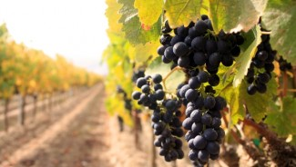 Wealthy pouring money in Vineyards